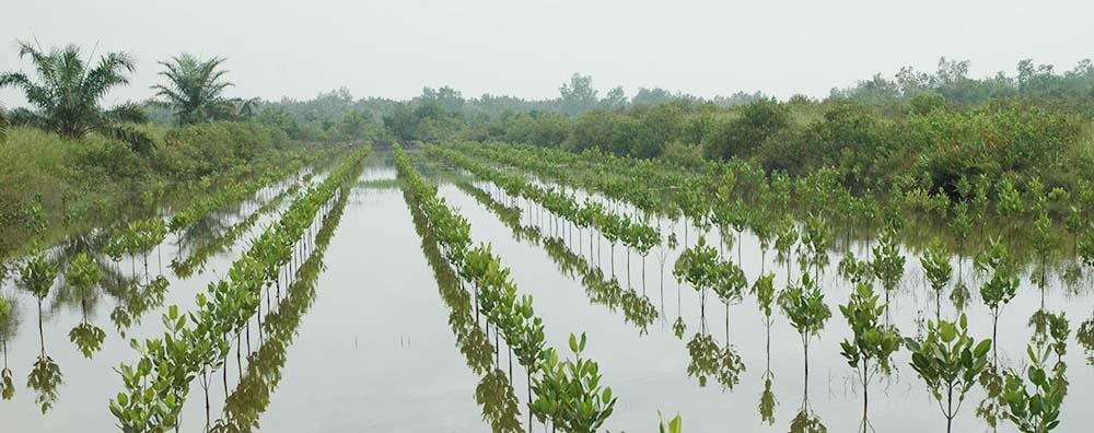 Indonésie - reforestation - Indonésie - aou 2009 - reforestation - region medan PGouriellec (1)