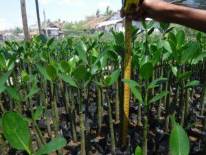 reforestation pépinière indonésie