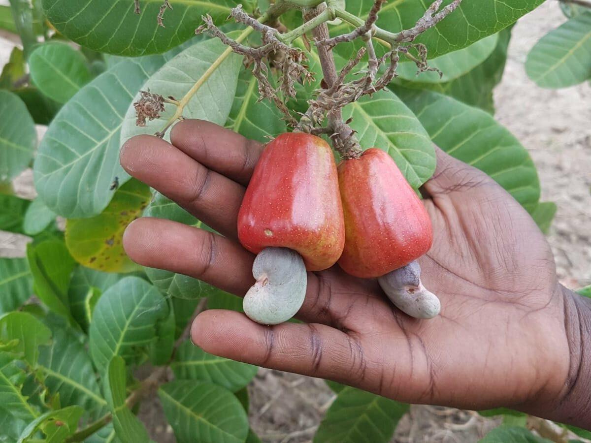 Projet FARE | Filière anacarde & restauration d'écosystèmes au Cameroun